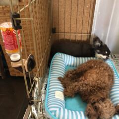 犬/ペット/お昼寝 暑いのに レオの部屋に入り浸るメリ☆ お…(2枚目)