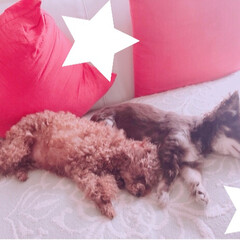 お昼寝/犬/ペット 今日も仲良くお昼寝中💕 レオ君暑いから離…(1枚目)