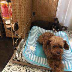 犬/ペット/お昼寝 暑いのに レオの部屋に入り浸るメリ☆ お…(1枚目)
