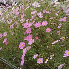 「近所の😆コスモス畑です!  綺麗😚😚秋で…」(1枚目)