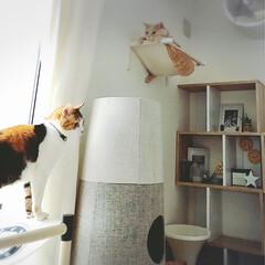 necota/ニャンモック かわいい姉弟ねこ🐱 三毛猫ラテ♀ 茶トラ…