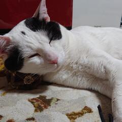 #白猫#ネコ#保護猫#にゃんこ#癒... 寒がりなシロちゃんはヒーターの前がお気に…(2枚目)