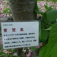 春のフォト投稿キャンペーン/八重桜 普賢象