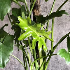 団地暮らしを愉しむ/団地暮らし/団地DIY/観葉植物インテリア/植物のある暮らし/インダストリアルインテリア/... 今日は昨日の雨が嘘のような秋晴れの一日で…(3枚目)