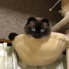 cats/たれ耳猫/顔黒い/にゃんモック/ねこのいる暮らし/シールポイント/... まうい…  くまさんじゃにゃいよー  ニ…