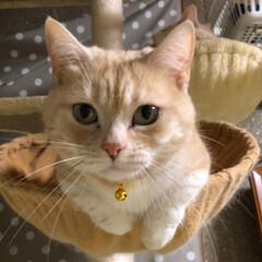 ねこのいる生活/猫好き仲間/猫の多頭飼い/シールポイント/クリームタビー/マンチカン/... はじめまして❣️ ①まうい ②あろは ③…(2枚目)