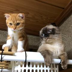 猫の兄弟姉妹/LIMIAペット同好会/スコティッシュフォールド/マンチカン/可愛い猫/猫の多頭飼い/... ご無沙汰ですにゃん  そして、新入りちゃ…