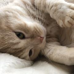 にゃんこ学園/にゃんこ同盟/クリームタビー/マンチカン/猫のいる暮らし/猫の多頭飼い/... おはにゃん🐾  でもまだ眠いにゃー