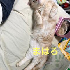 親バカ部/暑い/愛猫/猫の多頭飼い/マンチカン/猫派/... 暑くって〜  みんにゃ  のびのび〜〜😅…