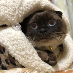 ねこのいる生活/猫好き仲間/猫の多頭飼い/シールポイント/クリームタビー/マンチカン/... はじめまして❣️ ①まうい ②あろは ③…