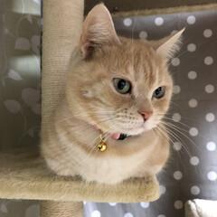 姫/猫好きさんと繋がりたい/猫好き仲間/クリームタビー/猫の多頭飼い/マンチカン/... おすまし あろは😻💕