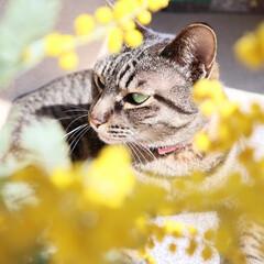 ガーデニング/花のある暮らし/ガーデン雑貨/ガーデニング雑貨/LIMIAガーデニング部/うちのガーデニング ミモザの日にミモザの花を撮ってみました!…(5枚目)