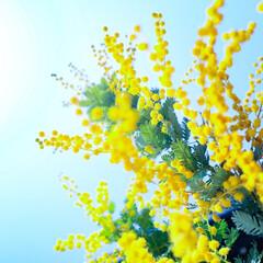 ガーデニング/花のある暮らし/ガーデン雑貨/ガーデニング雑貨/LIMIAガーデニング部/うちのガーデニング ミモザの日にミモザの花を撮ってみました!…(1枚目)