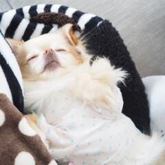 チワワ/愛犬/うちの子/LIMIAペット同好会/ペット/ペット仲間募集/... 気持ちよさそうに寝てるෆ