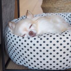 チワワ/愛犬/うちの子/LIMIAペット同好会/ペット/ハンドメイド/... 1番のお気に入りベッドで(  ˊ࿁ˋ )…