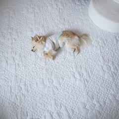 犬と暮らす/愛犬/うちの子/チワワ/LIMIAペット同好会/フォロー大歓迎/... 空飛ぶ夢見てそう𓂃𓈒𓏸