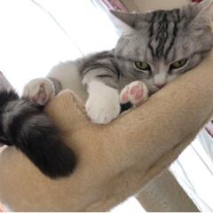 キャットタワー/スコティッシュフォールド/にゃんこ/猫/うちの子自慢/LIMIAペット同好会/... タワーのてっぺんは ぎゅーぎゅー😂  で…(1枚目)