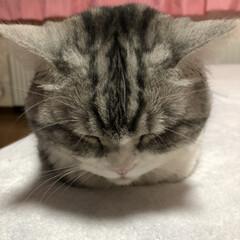 スコティッシュフォールド/cat/ねこ/おやすみ/おやすみショット/猫/... (*˘ ˘*)おやすみなさいッ.。.:*ღ