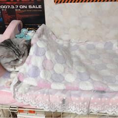 猫との暮らし/cat/スコティッシュフォールド/おやすみ/猫ベッド/ねこ/...  今日は ここでお昼寝だった🤣  あっち…
