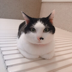 香箱座り/LIMIAペット同好会/ペット/ペット仲間募集/猫/にゃんこ同好会/... 大好きなお風呂の蓋の上で キレイな香箱座…