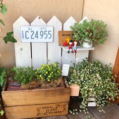 セダム/花のある暮らし/玄関/グリーンのある暮らし/簡単DIY/ガーデニングdiy/... 黄色の花にはまってます😆 なんて言う名前…