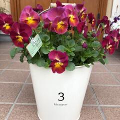 3COINS/ガーデニング雑貨/ガーデニング/寄せ植え/ビオラ/新生活/... 玄関先のお花が満開です。  1→小輪パン…