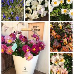 花のある暮らし/ガーデニング雑貨/ガーデニング/3COINS/ムスカリ/ビオラ/... 10月初めにバケツに植えた、小輪パンジー…