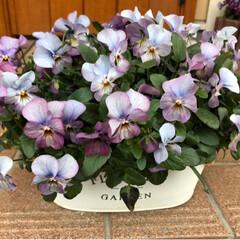 もりもり/ビオラ寄せ植え/ガーデニング雑貨/プリンセスクローバー/寄せ植え/ビオラ/... 雨の朝ですが、花柄摘みしました。 元気い…