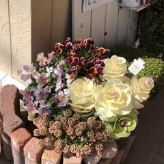 花のある暮らし/葉牡丹/アリッサム/ガーデニング雑貨/ガーデニング/寄せ植え/... いいお天気ですね〜💕 お花も満開🌸 今日…(2枚目)
