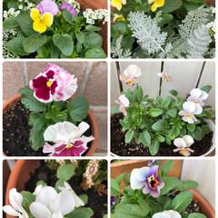 花のある暮らし/ガーデニング/ビオラ/パンジー/暮らし また、ビオラとバンジー買いました。  パ…