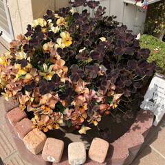 3COINS/ガーデニング雑貨/ガーデニング/寄せ植え/ビオラ/新生活/... 玄関先のお花が満開です。  1→小輪パン…(4枚目)