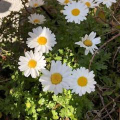 花のある暮らし/葉牡丹/アリッサム/ガーデニング雑貨/ガーデニング/寄せ植え/... いいお天気ですね〜💕 お花も満開🌸 今日…(3枚目)