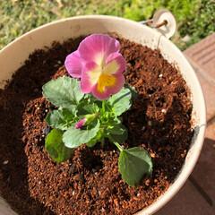 3COINS/花のある暮らし/ビオラ/ガーデニング/パンジー/雑貨/... 小輪パンジー植えました。 ビオラよりほん…