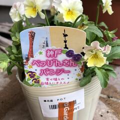 花のある暮らし/ビオラ/パンジー/神戸べっぴんさんパンジー/大奮発 神戸べっぴんさんパンジー。 花びらが少し…