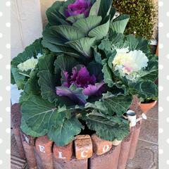 玄関先/葉牡丹/リミアの冬暮らし/雑貨/ハンドメイド/暮らし/... 母が葉牡丹の寄せ植えをもってきてくれまし…
