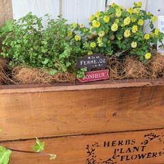 セダム/花のある暮らし/玄関/グリーンのある暮らし/簡単DIY/ガーデニングdiy/... 黄色の花にはまってます😆 なんて言う名前…(2枚目)