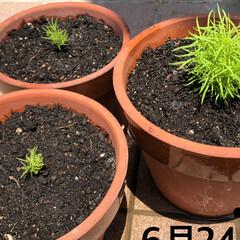 逆再生成長記録/ほうき草/コキア コキア🌱3兄弟。 逆再生、成長記録。  …(3枚目)