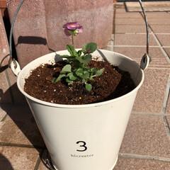 花のある暮らし/ガーデニング雑貨/ガーデニング/3COINS/ムスカリ/ビオラ/... 10月初めにバケツに植えた、小輪パンジー…(2枚目)