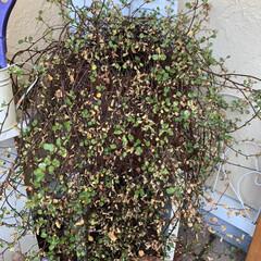 新芽が出てきた/ガーデニング/玄関先/グリーンのある暮らし/切り戻し/ワイヤープランツ/... うちのワイヤープランツ。 枯れてはないけ…