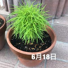 グリーンのある暮らし/コキア/ほうき草/雨季ウキフォト投稿キャンペーン/おすすめアイテム/フォロー大歓迎/... 1週間前に植えた、ほうき草。 気がついた…(1枚目)