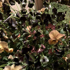 3COINS/ガーデニング雑貨/ガーデニング/寄せ植え/ビオラ/新生活/... 玄関先のお花が満開です。  1→小輪パン…(5枚目)