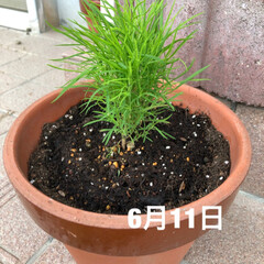 グリーンのある暮らし/コキア/ほうき草/雨季ウキフォト投稿キャンペーン/おすすめアイテム/フォロー大歓迎/... 1週間前に植えた、ほうき草。 気がついた…(2枚目)