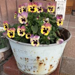 バニーイヤー/花のある暮らし/神戸べっぴんさんパンジー/ビオラ可愛い/ラビットイヤー/アリッサム/... 玄関先のビオラが大きくなってきました。 …