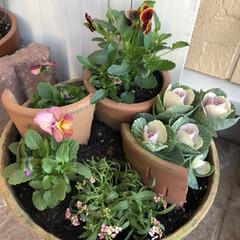 割れた鉢/花のある暮らし/ガーデニング/寄せ植え/葉牡丹/アリッサム/... 割れた鉢も使って、 ビオラ、葉牡丹、アリ…