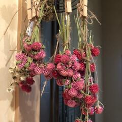 花のある暮らし/千日紅ドライ/ドライフラワー/千日紅 千日紅はやっぱピンクがいちばん好きっ💕 …