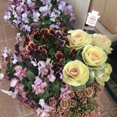 葉牡丹/ガーデニング/寄せ植え/アリッサム/ビオラ/雑貨/... ミニミニ葉牡丹、まだキレイに咲いてます。…