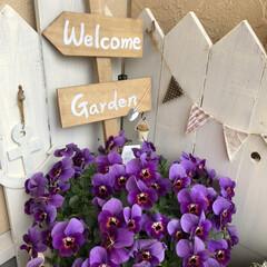 3COINS/ガーデニング雑貨/ガーデニング/寄せ植え/ビオラ/新生活/... 玄関先のお花が満開です。  1→小輪パン…(2枚目)