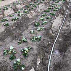 いちご大好き/お手伝い/いちご畑 いちごの苗🍓370株植えました。 何が好…