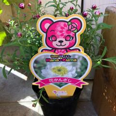 ガーデニング/プレミアムビオラ/ビオラ/花かんざし/リミアの冬暮らし/フォロー大歓迎 昨日、花かんざしの苗買いました。 2つ買…