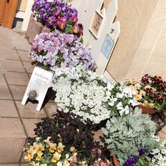花のある暮らし/葉牡丹/アリッサム/ガーデニング雑貨/ガーデニング/寄せ植え/... いいお天気ですね〜💕 お花も満開🌸 今日…